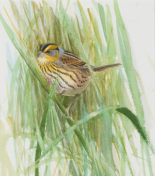 """Sharp-tailed Sparrow,"" Lars Jonsson, watercolor on paper, commission, 1994. Mass Audubon Collection."