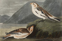 """Snow Buntings"" [detail], engraving by John J. Audubon - Mass Audubon Collection"