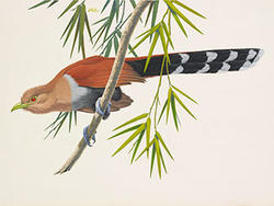 Squirrel Cuckoo by Don Richard Eckelberry, watercolor. Woodson Art Museum Collection.