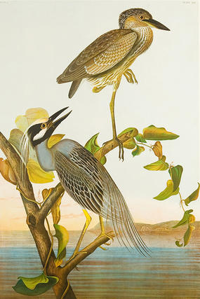 Yellow-crowned Night-Heron by John James Audubon (chromolithograph, 1860). Mass Audubon Collection.