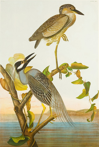 Yellow Crowned Night Heron © John James Audubon, 1860