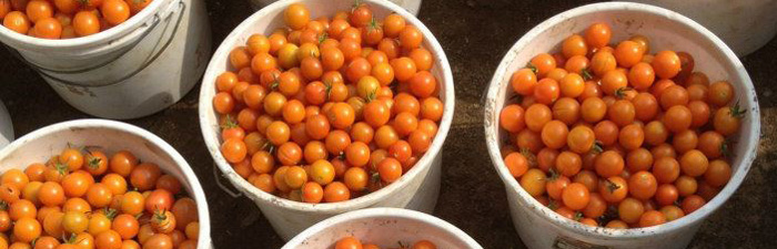 Buckets of cherry tomatoes at Moose Hill Wildlife Sanctuary