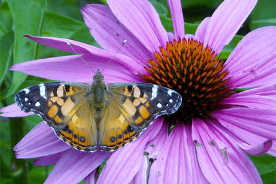 Painted Lady butterfly on Purple Coneflower bloom