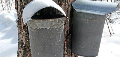 Sap buckets on trees at Moose Hill Wildlife Sanctuary