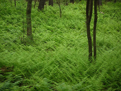 Woods with fern ground cover at Mass Audubon Nashoba Brook Wildlife Sanctuary