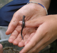 A salamander on the hands of a student