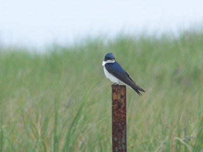 Tree Swallow © John Galuzzo