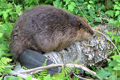 Beaver on felled tree at PV © Ed Anzures