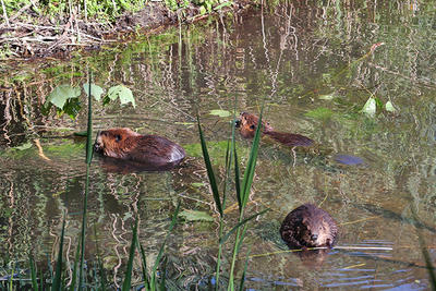 Beavers in North Pond at Pleasant Valley Wildlife Sanctuary (Photo: Bill Bernbeck)