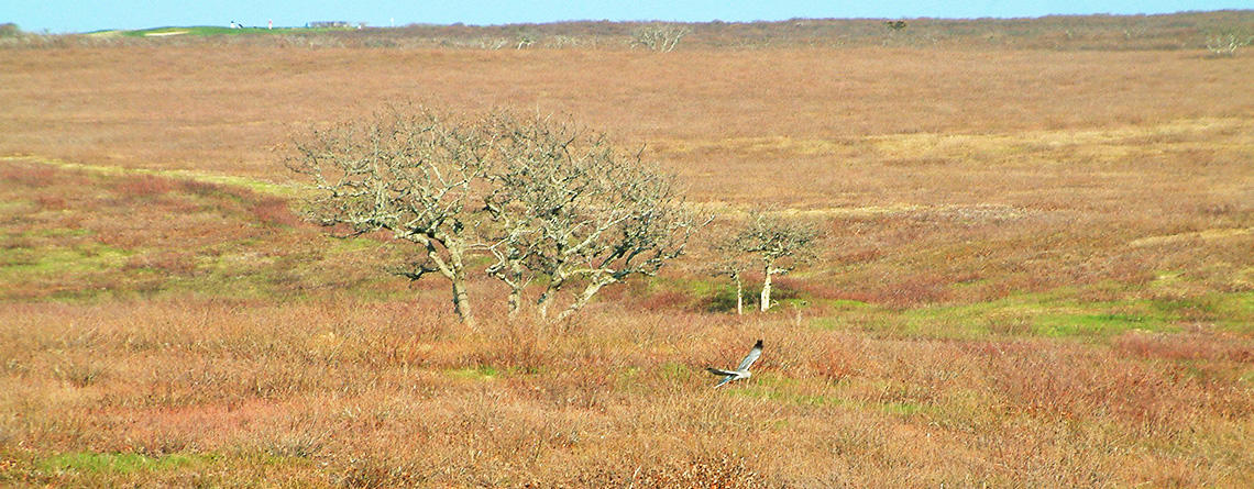 Northern Harrier flying over heathlands at Sesachacha Heathlands Wildlife Sanctuary