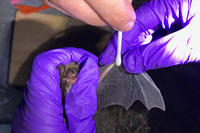 Northern Long-eared Bat found at Lost Farm