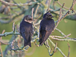 Purple martins © Mary Keleher