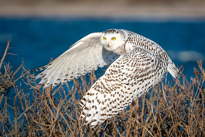 Snowy Owl at Westport Beach © Fred Laberge