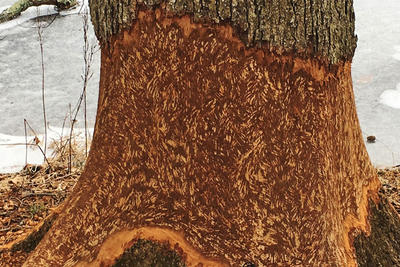"A tree that's been ""girdled"" by a beaver"