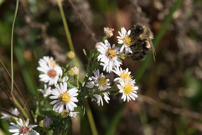 Native aster species being visited by a native bee at Tidmarsh Wildlife Sanctuary