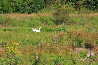 Tidmarsh view with egrets