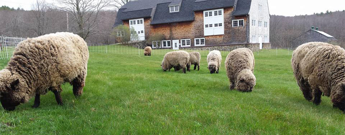 Sheep grazing at Wachusett Meadow in front of barn