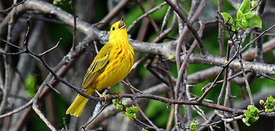 Yellow Warbler © Richard Welch
