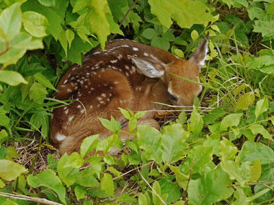 Fawn in the woods at Mass Audubon Waseeka Wildlife Sanctuary