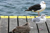 3 gulls on a pier in Chatham © Richard Johnson