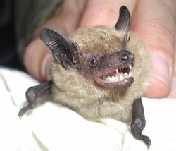 big brown bat_USGS