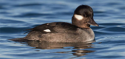 Bufflehead female © Susan Wellington