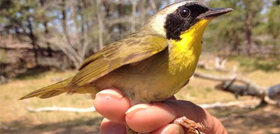 Common Yellowthroat getting banded © Elora Grahame