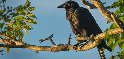 Crow on tree branch © Neal Harris