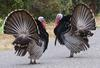 Displaying male turkeys © Teddy Llovet