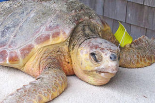 Early season loggerhead rescued on the Vineyard