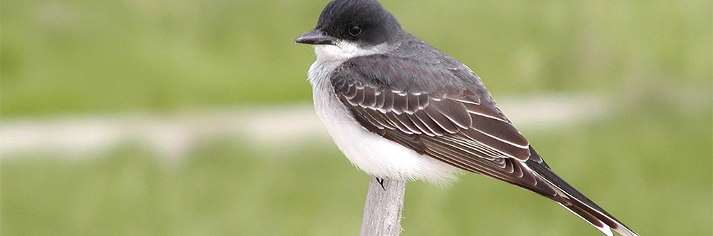 Eastern kingbird at Wellfleet Bay © Richard Johnson