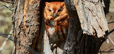 Eastern Screech Owl red morph © Susan Wellington