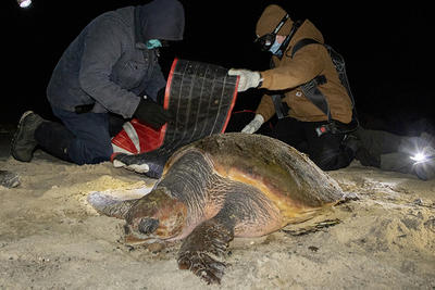 Adult Field School participants preparing to move a cold-stunned Loggerhead