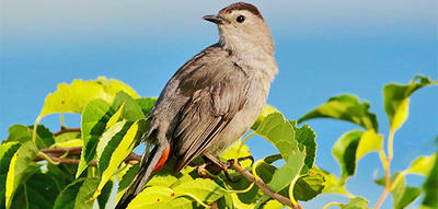 Gray Catbird on a leafy branch © Sherri Vandenakker