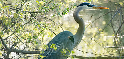 Great Blue Heron wading in the shade of trees
