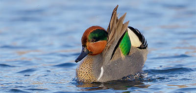 Green-winged Teal © Matt Filosa