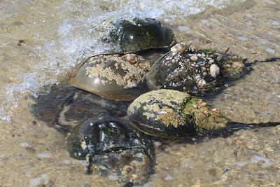 Group of horseshoe crabs