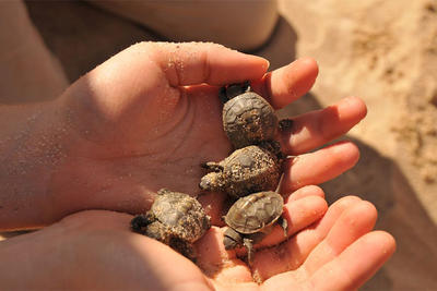 Handful of Diamondback Terrapin hatchlings © Terri Munson
