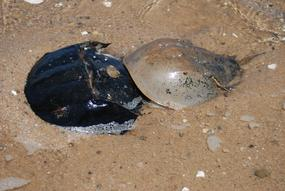 Horseshoe Crabs Spawning