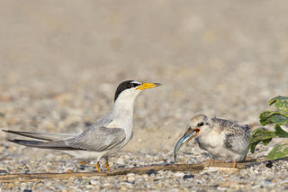 Least Tern feeding a chick © Jim Duffy
