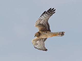 Northern Harrier © Shawn P. Carey, Migration Productions