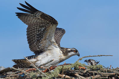 Osprey adult & chick at West Dennis © Susan Wellington
