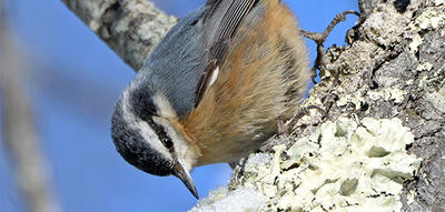 Red-breasted Nuthatch © Lee Millet