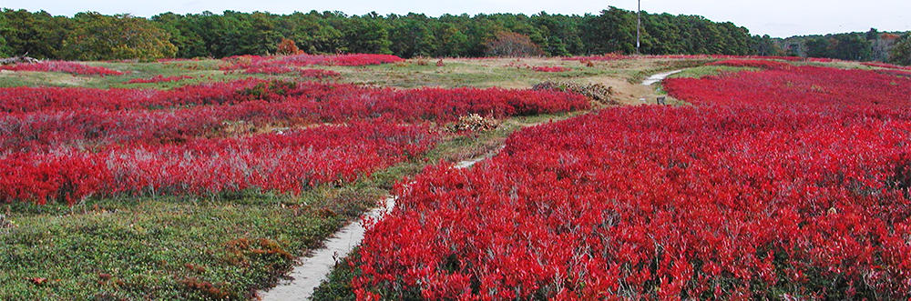 Flowers along a sandy trail at Wellfleet Bay Wildlife Sanctuary