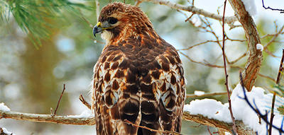 Red-tailed Hawk on snowy branch at Wellfleet Bay © Kim Barillot