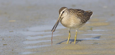 Short-billed Dowitcher on Tern Island (Photo: Joel Wagner)