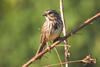 Song Sparrow © Shawn Taylor