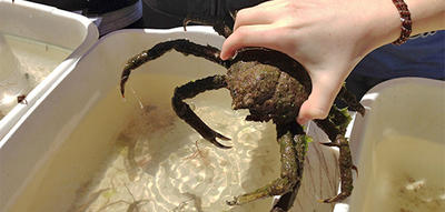 Spider Crab in WB educator's hand