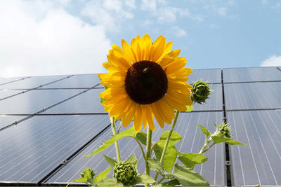 Sunflower against solar PV array © Peter Lampke