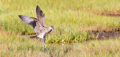 Whimbrel arriving at Wellfleet Bay © Shawn Carey